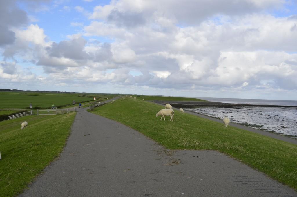 moutons Terschelling